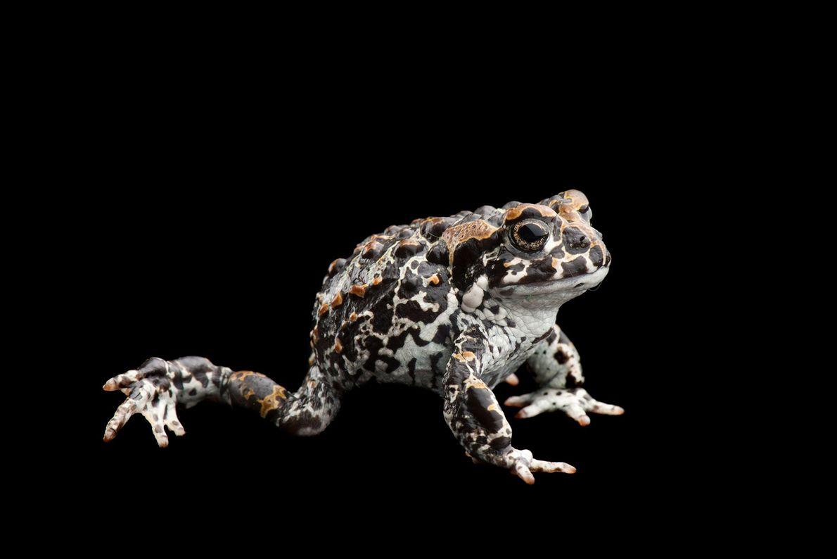 An endangered juvenile Yosemite toad, Bufo or Anaxyrus canorus.