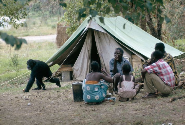Confirmed banana raider makes a getaway, unmolested by lunching Africans. Enjoying the run of camp, chimpanzees ...