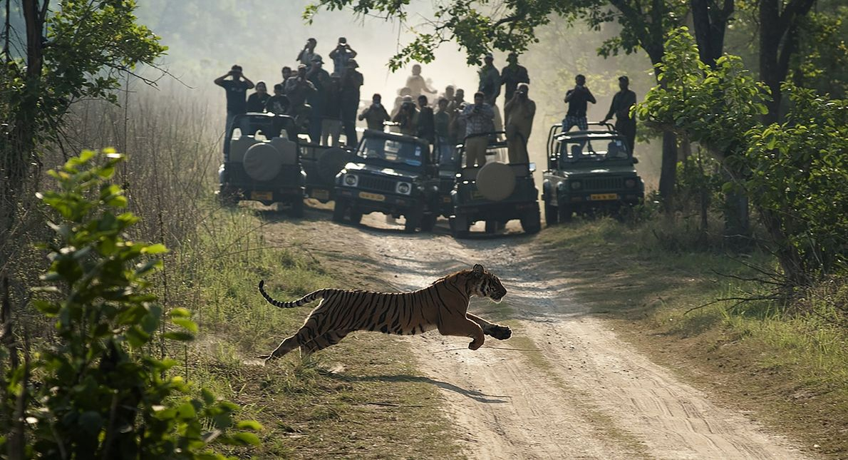 A tiger leaps across a dirt road in Corbett National Park, North India.
