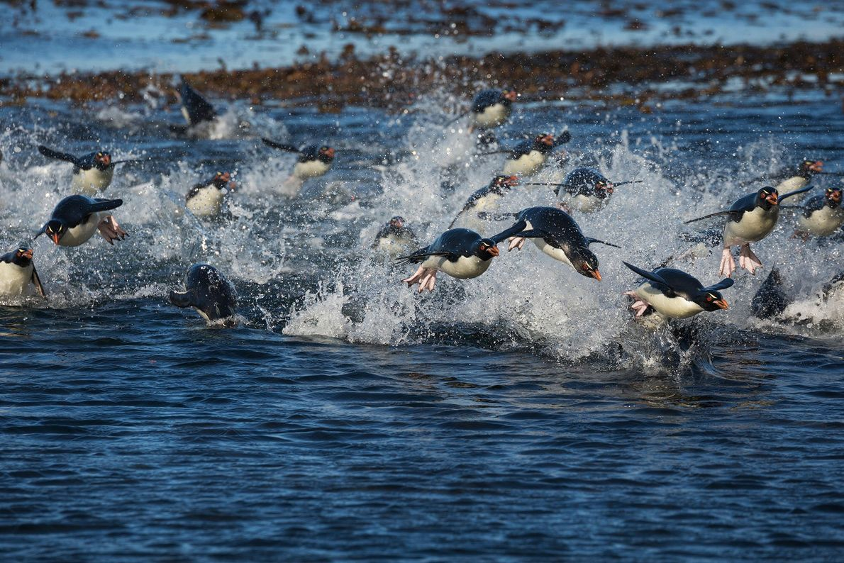 Southern rockhopper penguins swim toward shore in the Falkland Islands. They use their flipper-like wings to ...