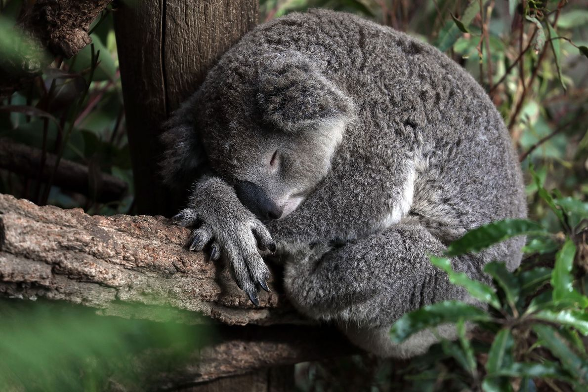 A koala dozes in a tree in the suburbs of New South Wales, Australia.