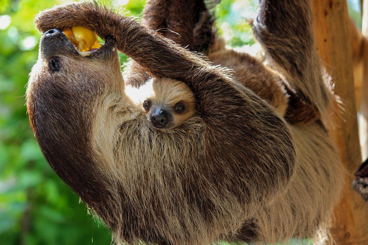 The original slow coach, the sloth.
