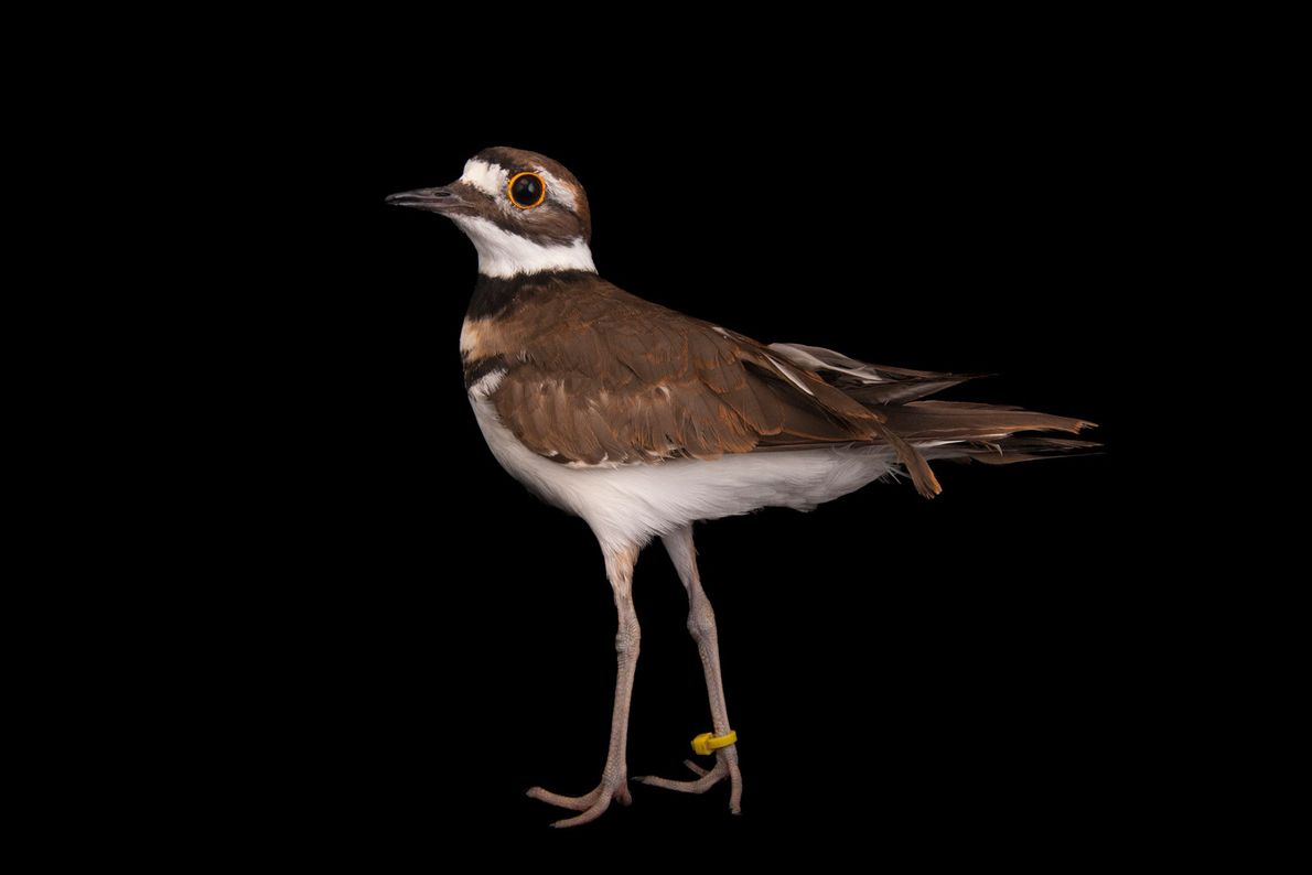 A killdeer (Charadrius vociferus) at the Columbus Zoo.