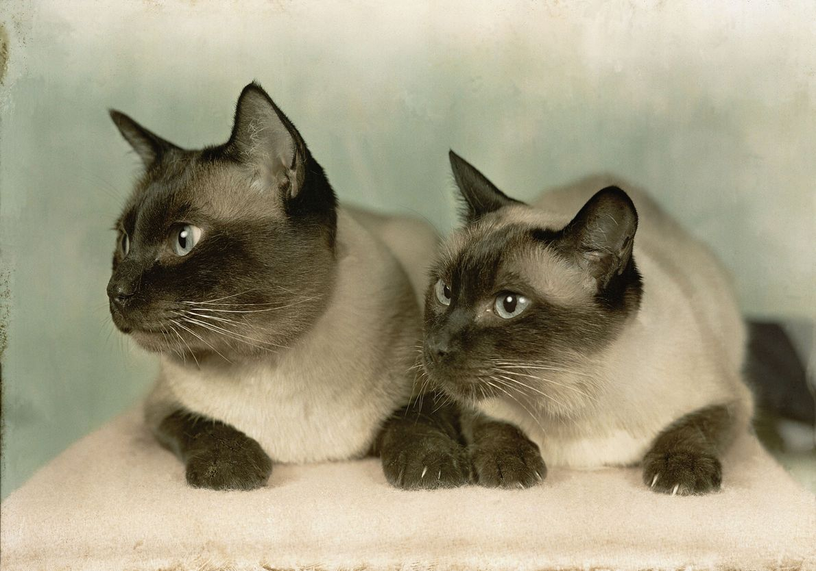 A pair of Siamese cats huddle together for a photo in Newton, Massachusetts.