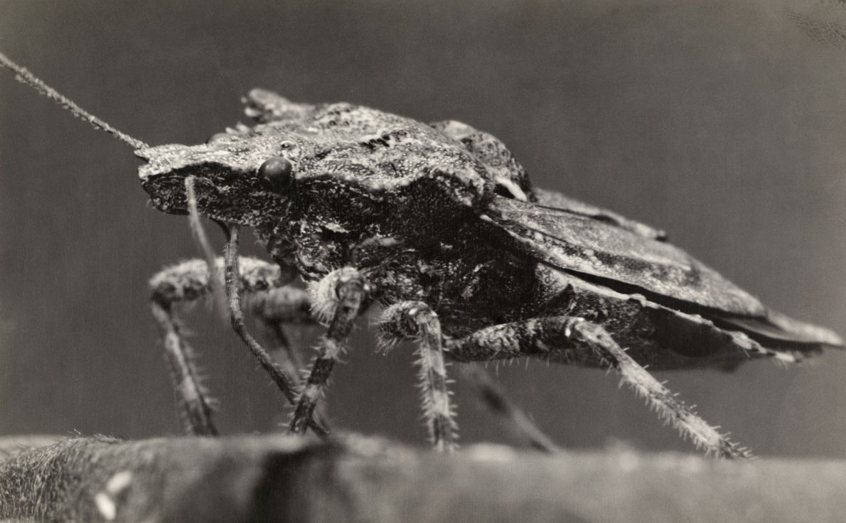 Many Americans are familiar with the brown marmorated stinkbug, an invasive Asian species that has spoiled ...