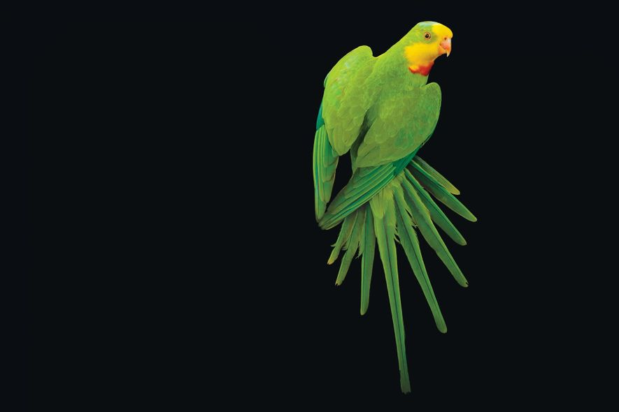 Native to southeastern Australia, the bright green superb parrot (Polytelis swainsonii) is one of 10,000 bird ...