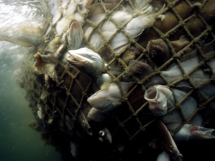 Cod Caught in a Net, Gulf of Maine