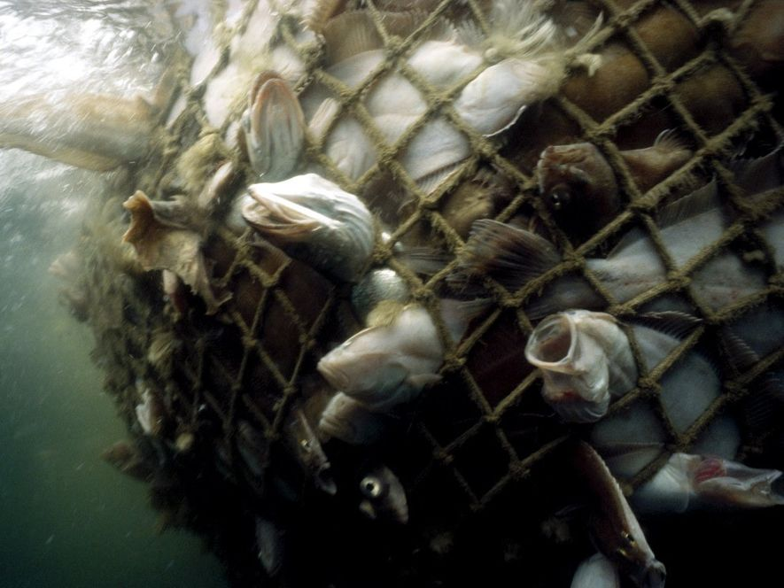 Cod and other commercial ground fish are caught in a net in the Gulf of Maine. ...