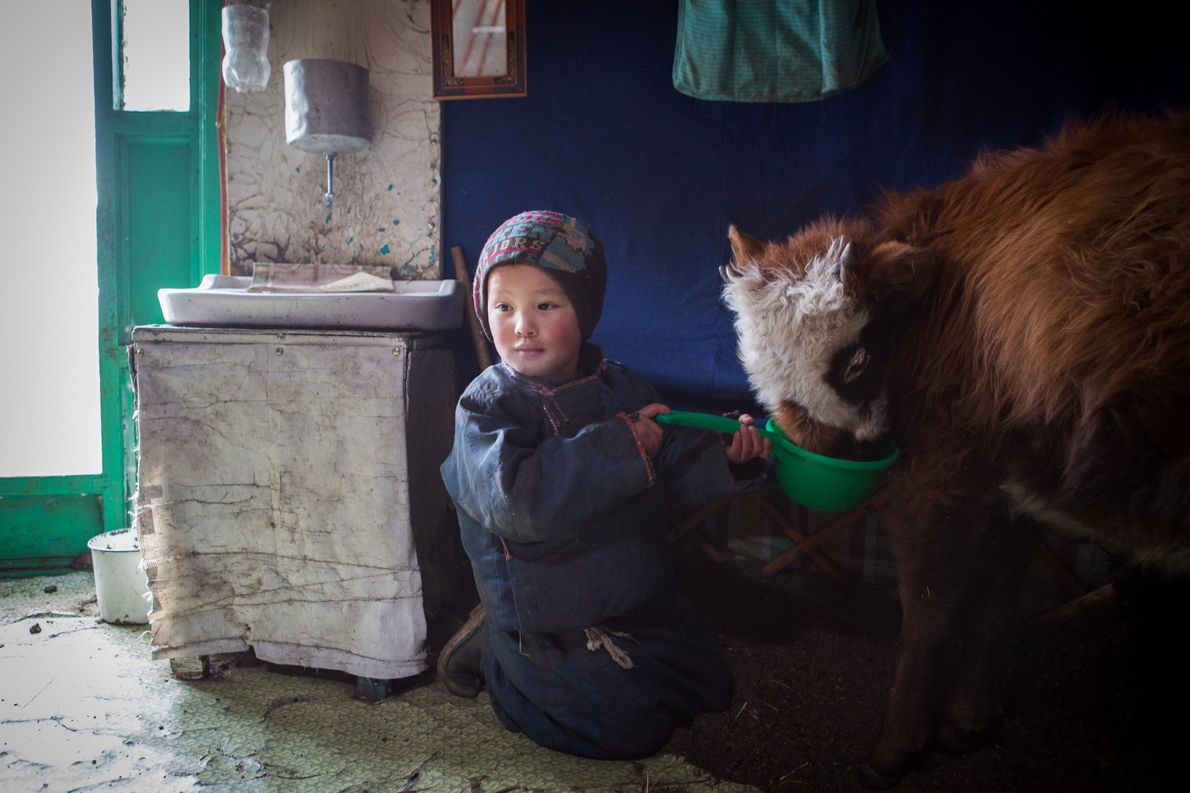 Sergelen feeds baby livestock inside his family yurt. Numerous young or sick animals spend the day ...