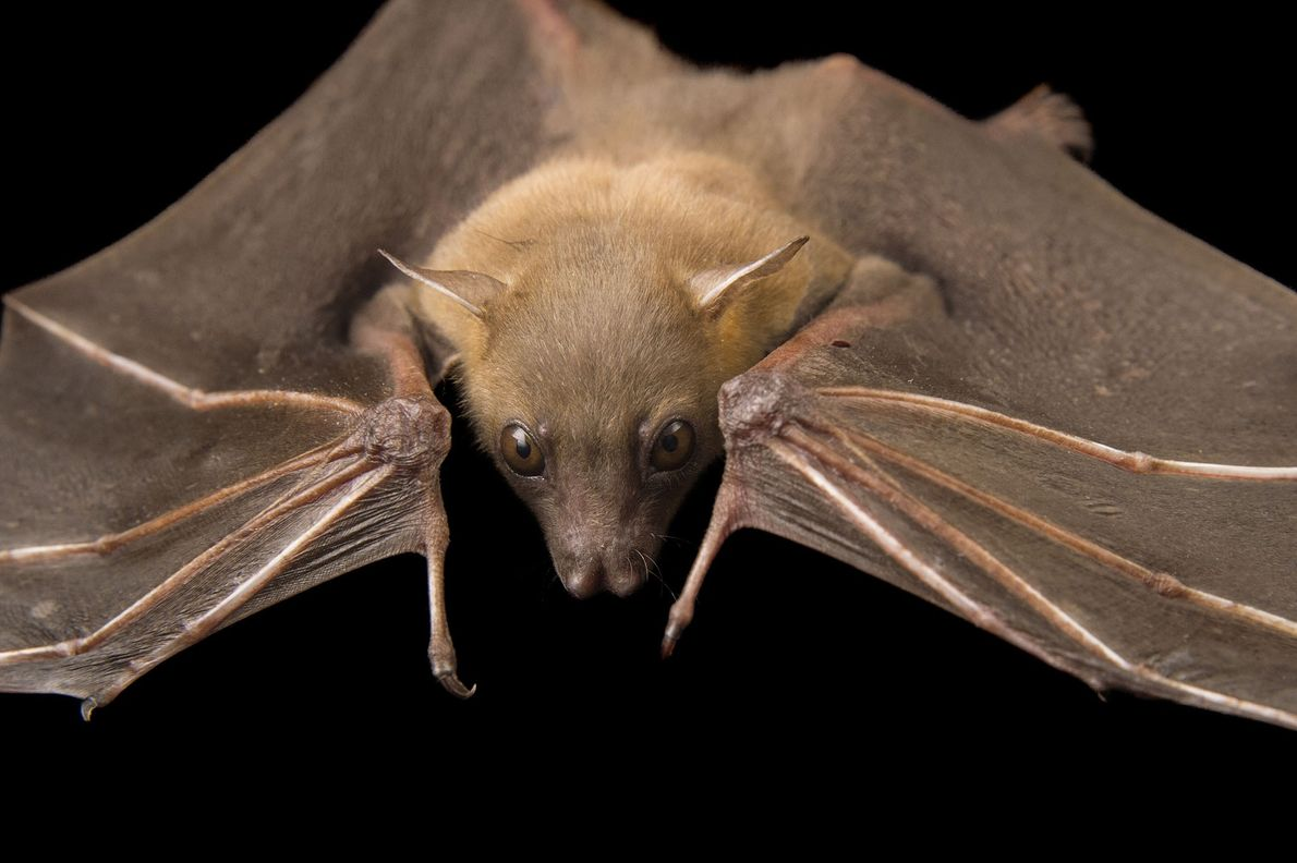 A lesser short-nosed fruit bat, Cynopterus brachyotis, at the Lubee Bat Conservancy in Gainesville, Florida.