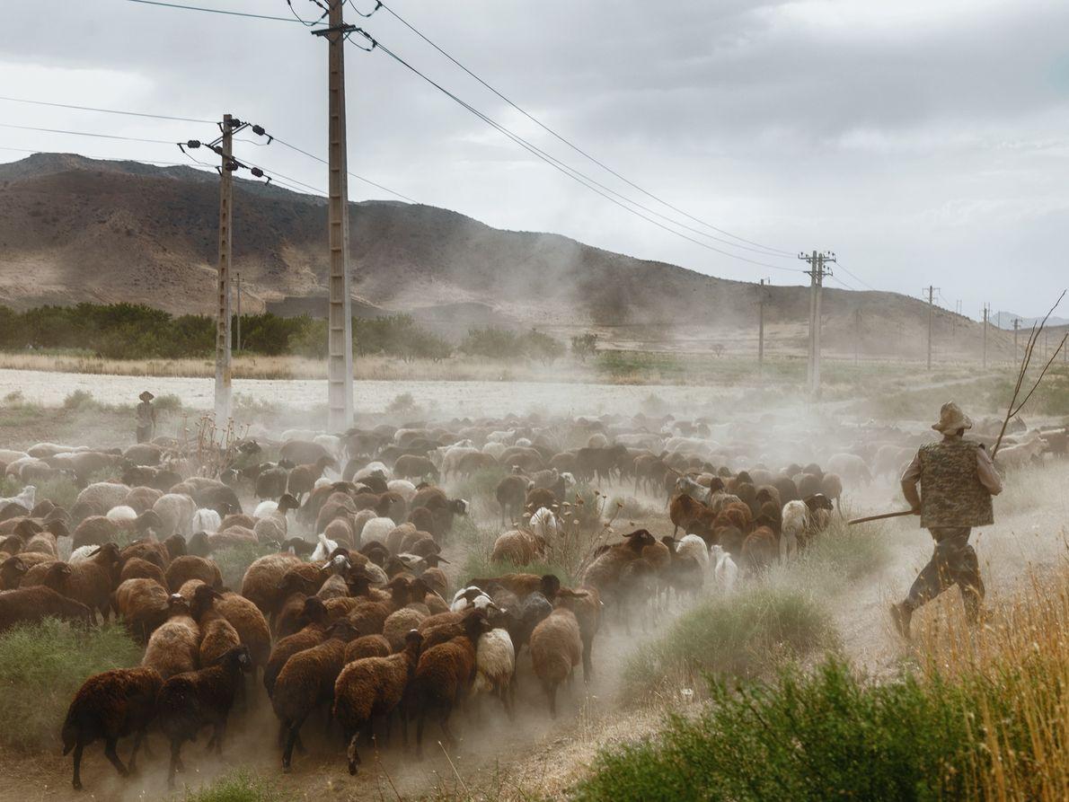 A herd of sheep near Lake Urmia.