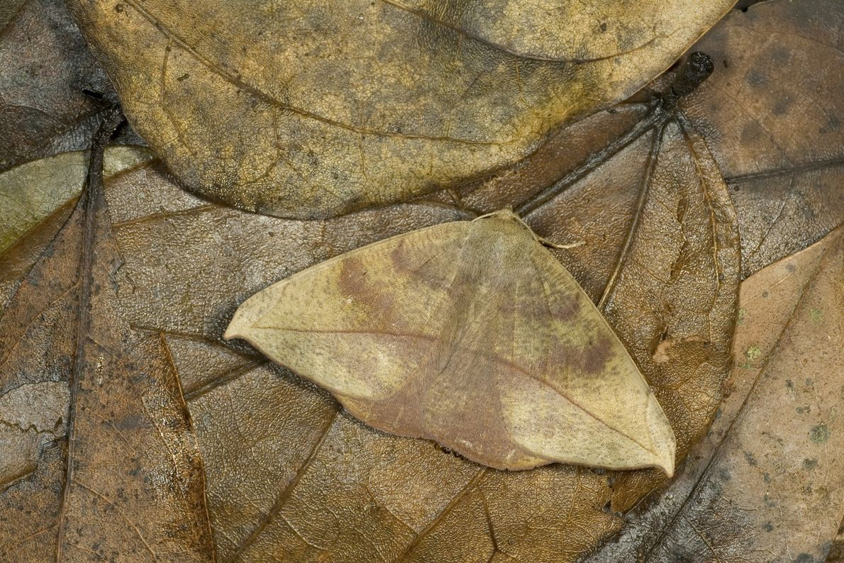 Unlike the vibrant defence mechanisms of many moths and caterpillars, this little one capitalises on camouflage.