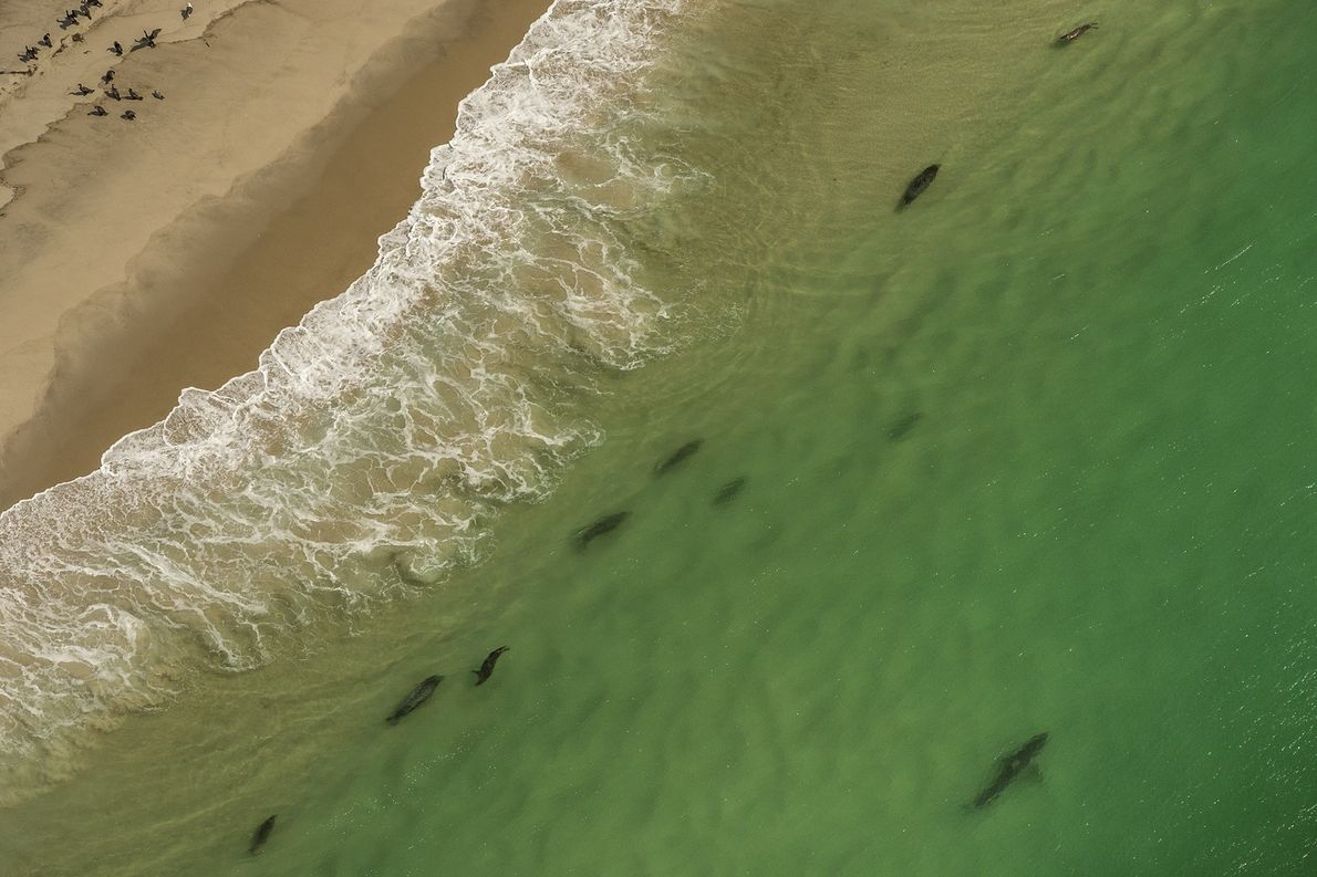 Grey seals frequent the sandy beaches of Cape Cod, drawing hungry great white sharks.