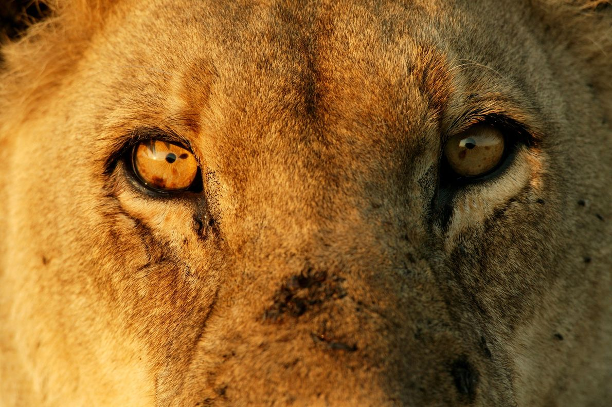 A close-up of a male lion at Duba Plains Camp in the Okavango Delta reveals scars ...