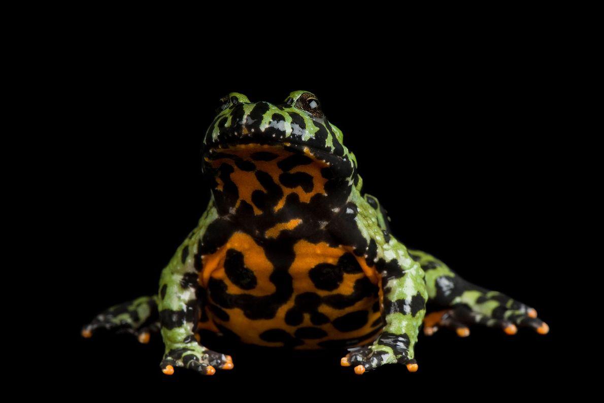 An oriental fire bellied toad ('Bombina orientalis') at Denver Zoo.