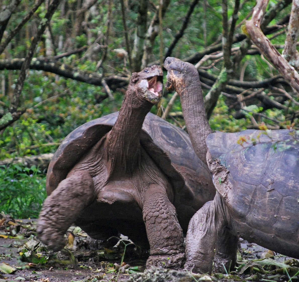 Galápagos tortoises snap at each other in the Galápagos Islands.