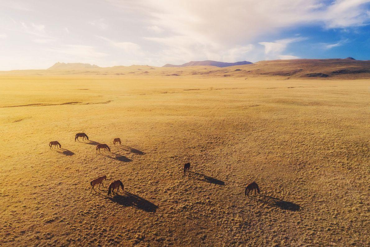 Horses. Kyrgyzstan