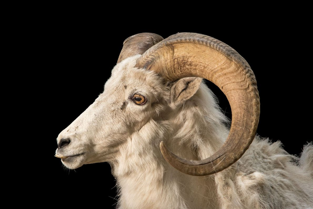 The dall, or thin horn sheep, can be found roaming the subarctic mountain ranges that stretch ...