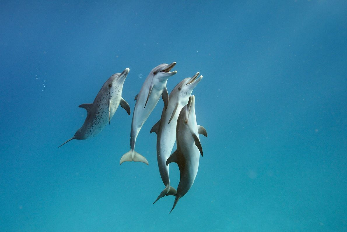 Atlantic spotted dolphins swim in the waters off Bimini in the Bahamas.