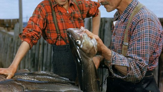 A father shows his son how to clean freshly caught cod in Quebec, Canada, in the ...