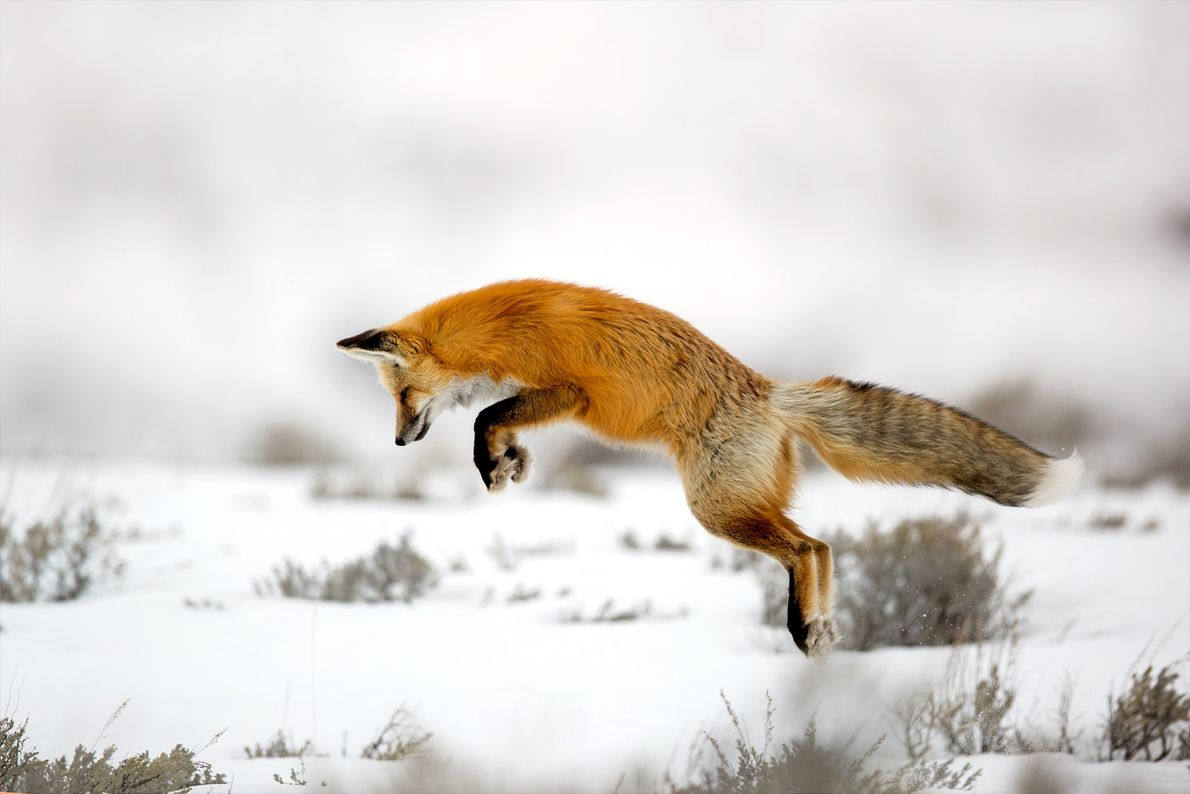 A red fox in Yellowstone hunting mice under the snow.