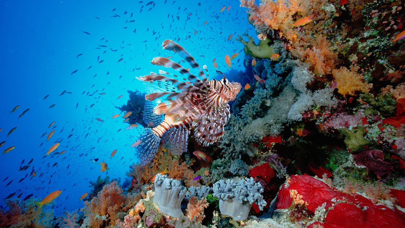 Lionfish swim over a reef in the Red Sea. Lionfish are venemous and are considered invasive ...