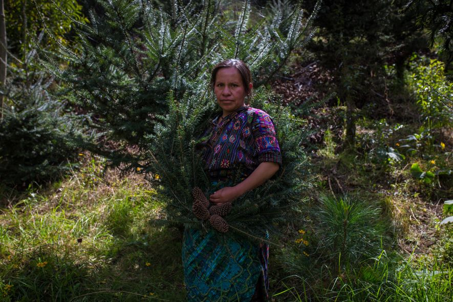 Teresa Tautiu hopes to support her family by growing legally certified pinabetes like these planted on ...