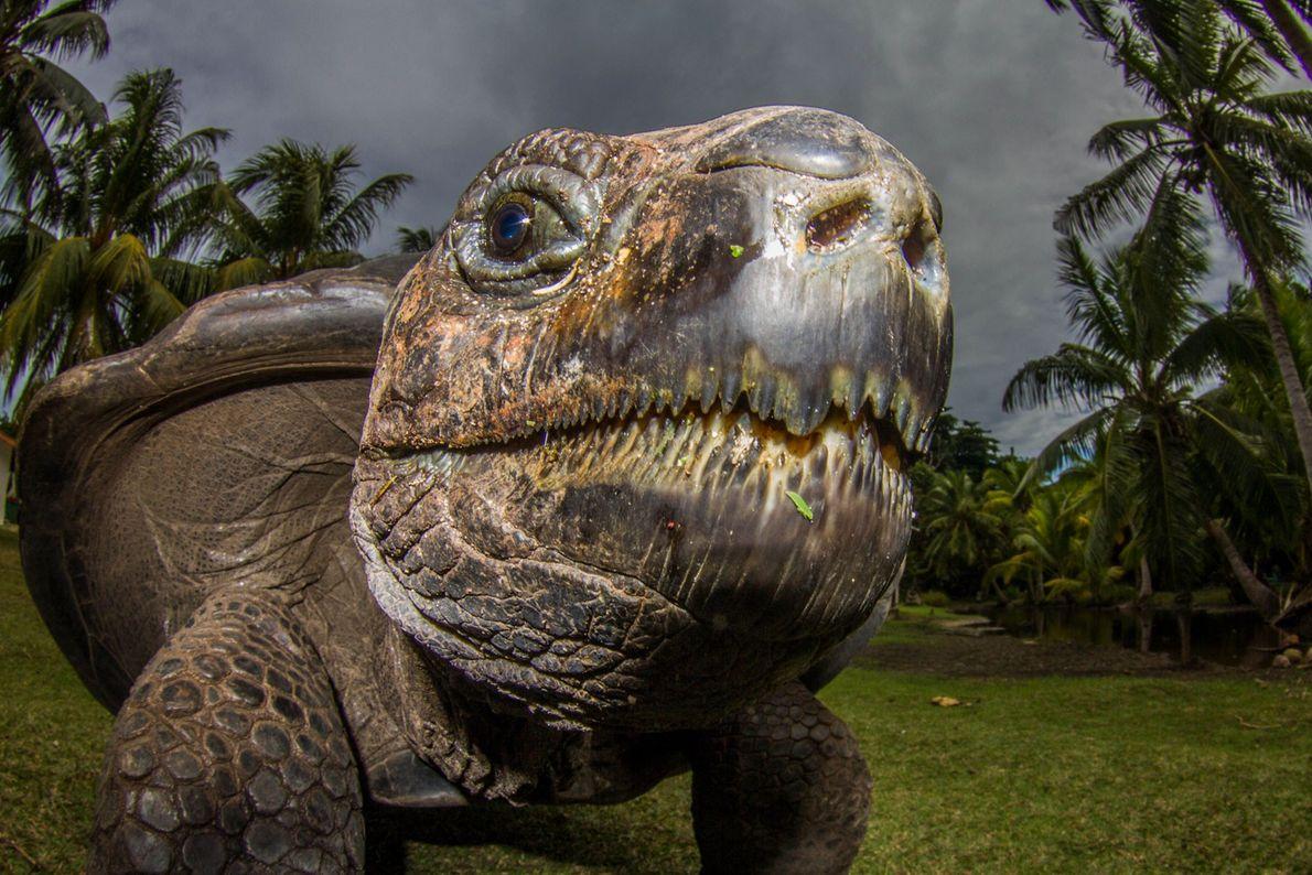 An Aldabra giant tortoise on Curieuse Island, Seychelles.