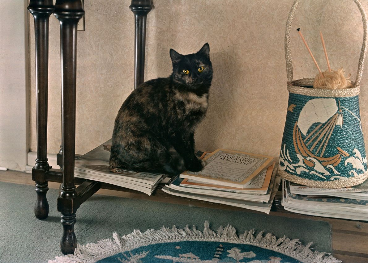 "A tortoiseshell domestic shorthair, named Joseph for her ""coat of many colours,"" perches on a shelf ..."