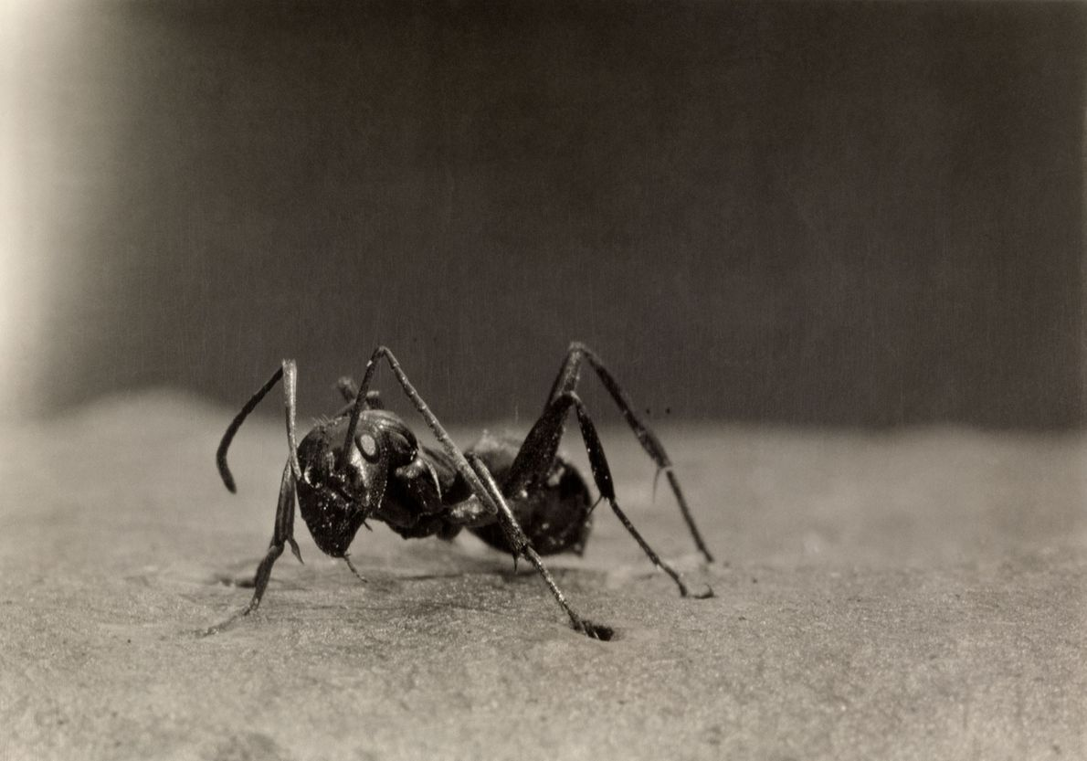 Also known as the European fire ant, the common red ant is also found in North ...