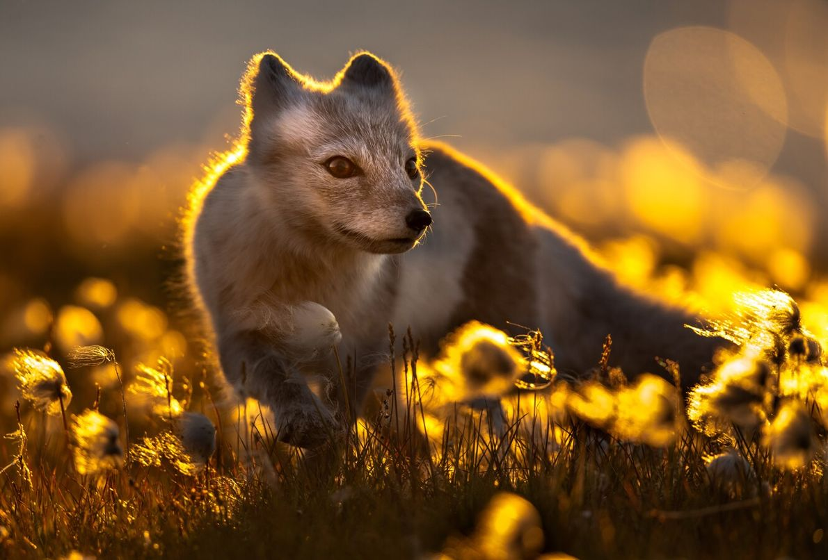 The snow has gone, but there are still signs of white fur on this arctic fox, ...