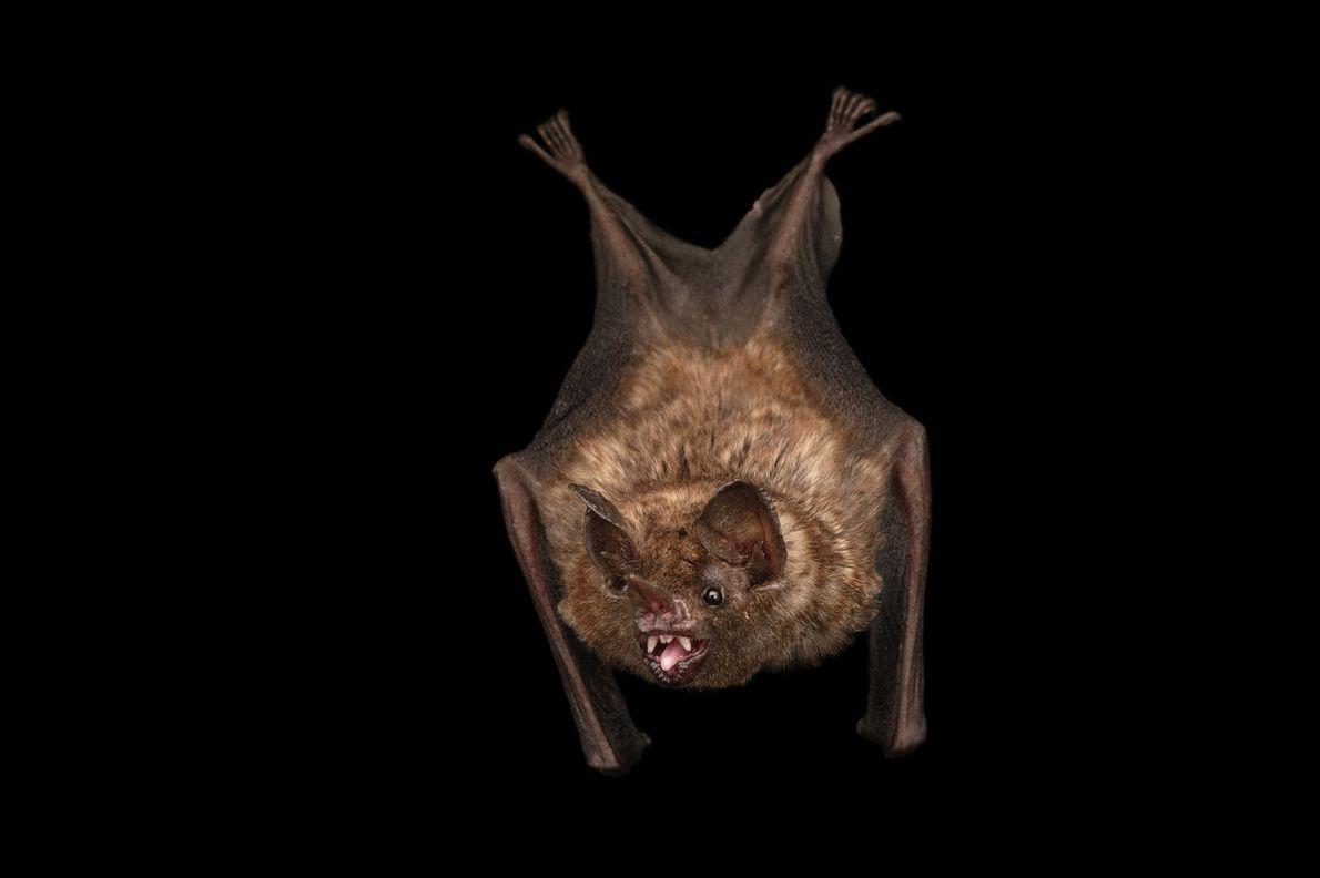 Seba's short-tailed fruit bat, Carollia perspicillata, at the Lincoln Children's Zoo.
