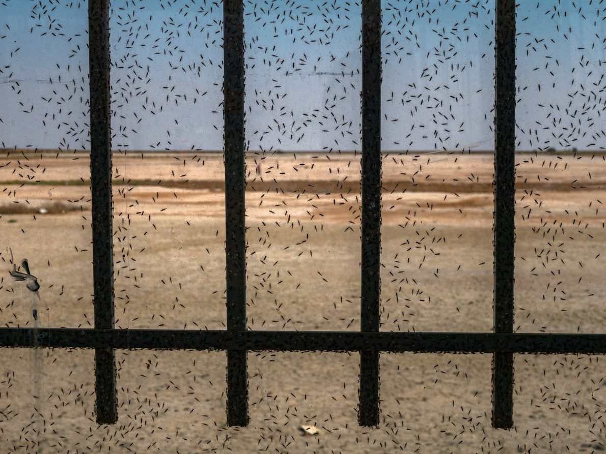 Thousands of white mosquitoes on a window frame of a restaurant around Lake Urmia.