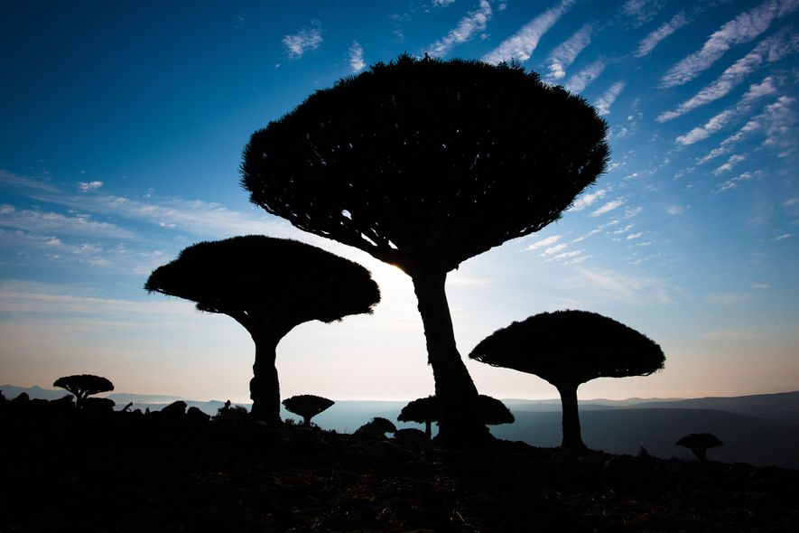 Dragon's blood trees have come to symbolise Socotra, and as a rare and valuable species they ...