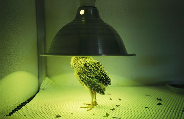 A newly hatched Attwater's prairie chicken basks in warm light at the Fossil Rim Wildlife Center, ...