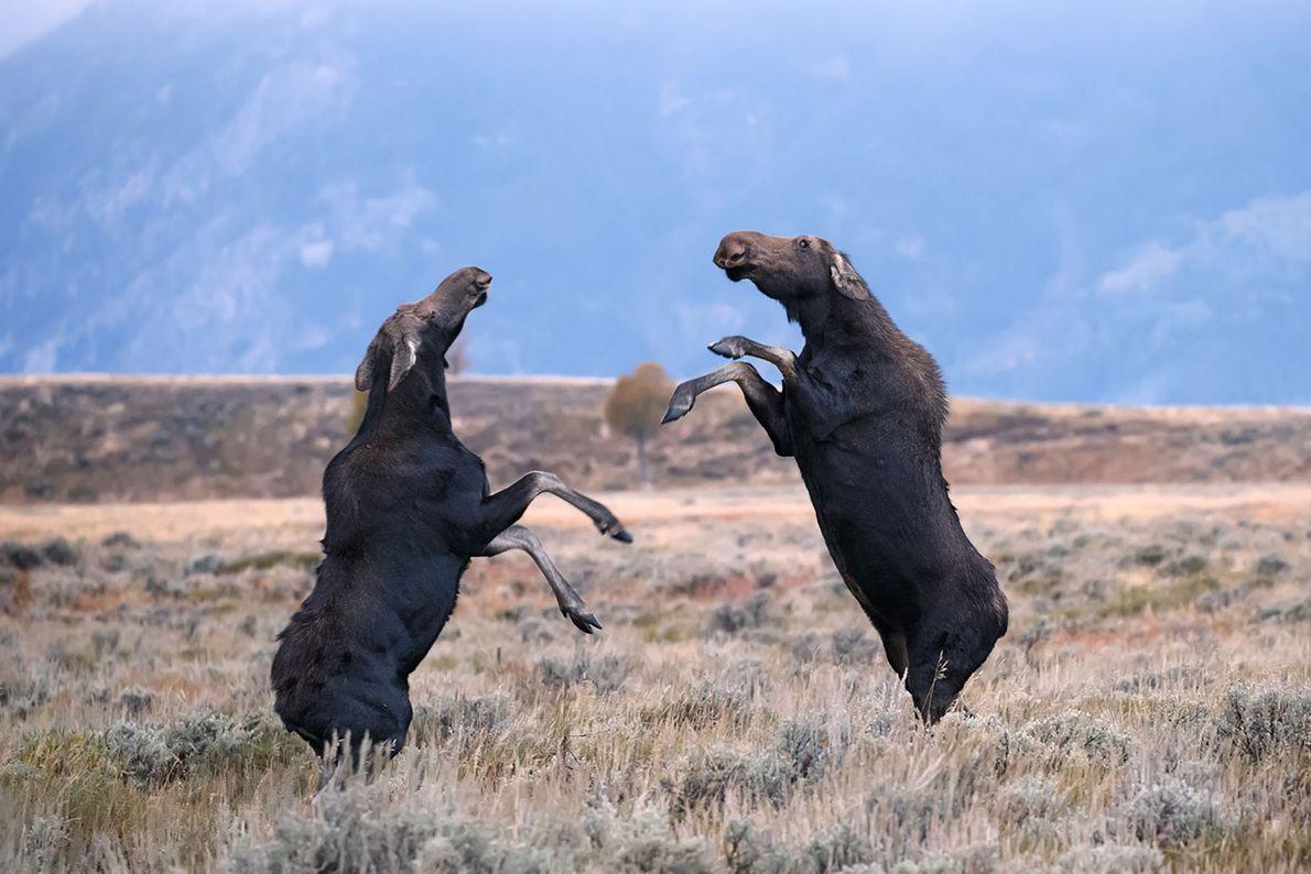 Moose spar in Grand Teton National Park, Wyoming.