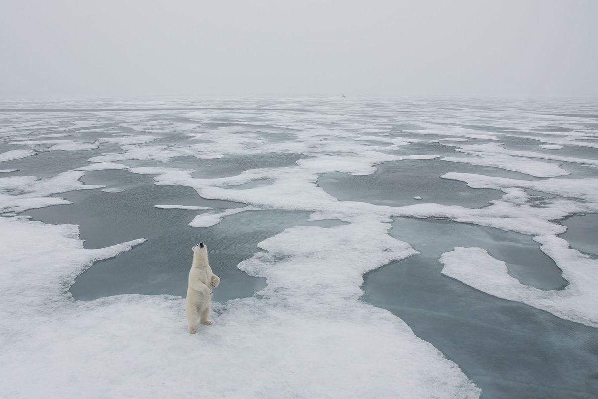 Polar bear, Longyearbyen, Svalbard, Svalbard and Jan Mayen.