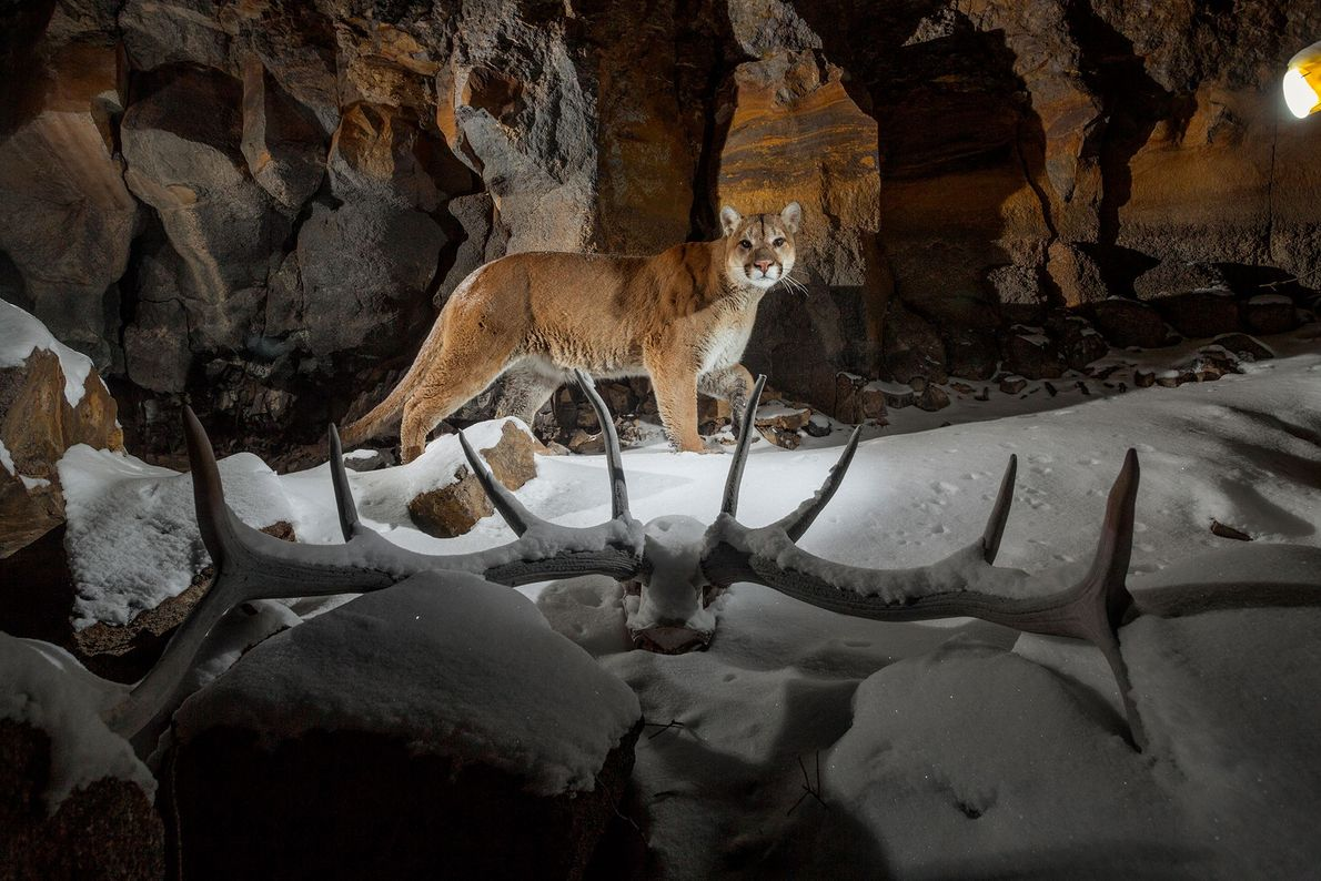 A remote camera captures a prowling cougar on Everett's Ridge in Yellowstone National Park, Wyoming, USA.