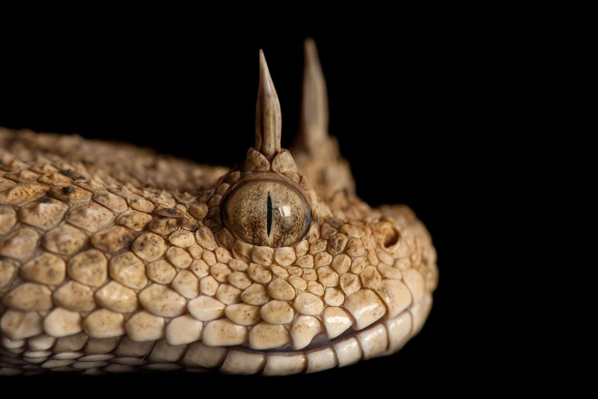 Most, but not all horned desert vipers have 'horns'. These venomous, desert-dwelling vipers can be found ...