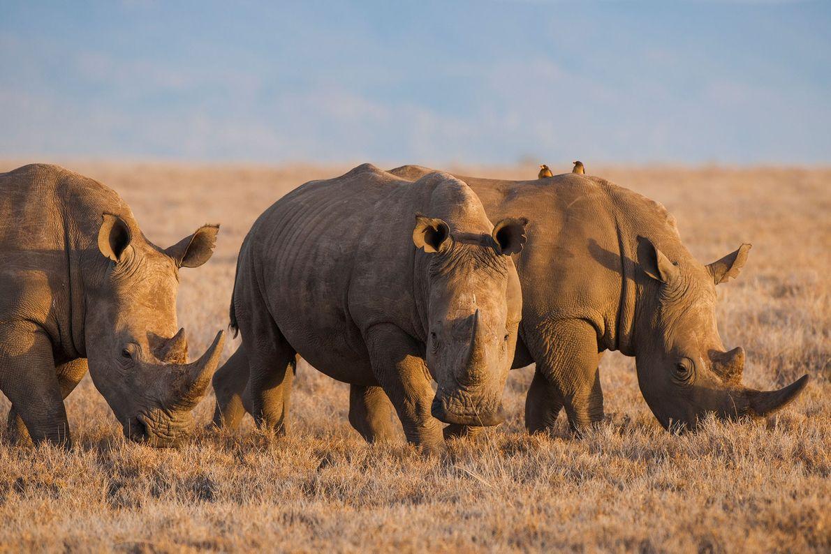 White rhinoceroses (Diceros bicornis) in Kenya's Lewa Wildlife Conservancy.