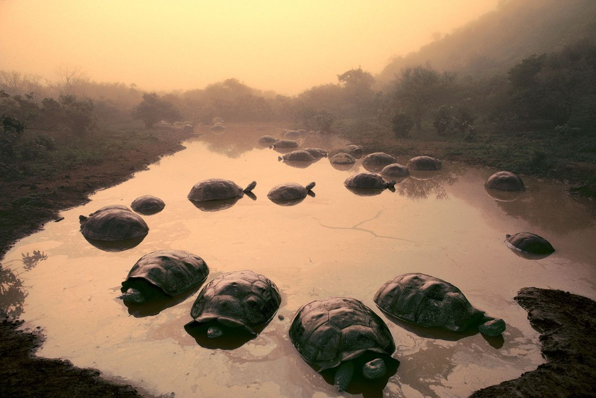 Giant tortoises sit in pond at the Alcedo Volcano in the Galapagos.