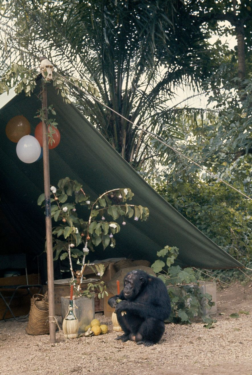 Foil-wrapped baubles adorn a tropical Christmas tree. Balloons festoon the tent; baboon skull, found and studied ...