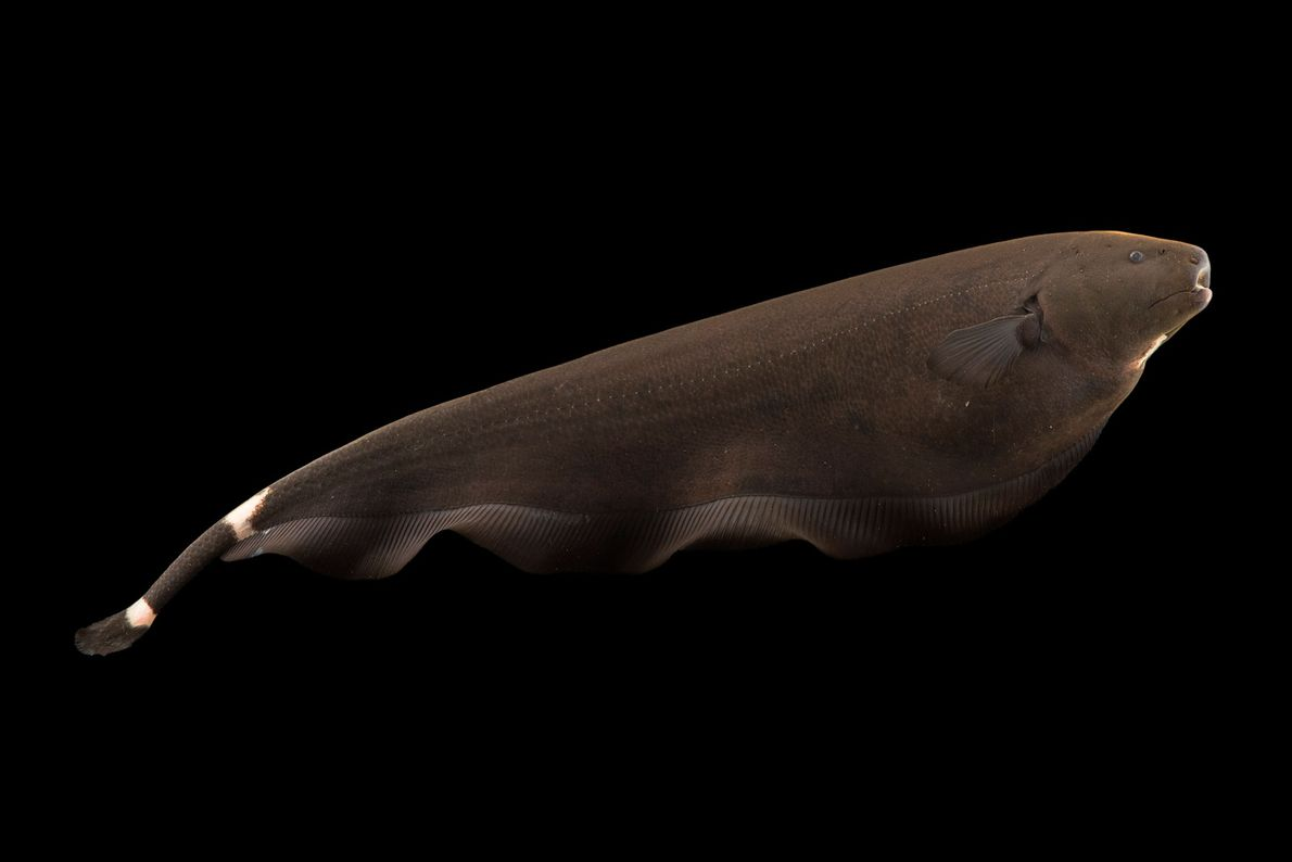 A black ghost knifefish (Apteronotus albifrons) at River Safari