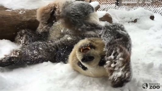 Watch Playful Pandas Frolic in the Snow