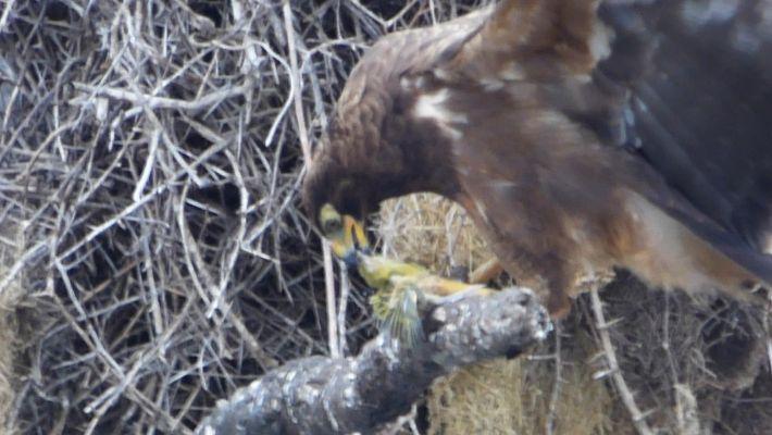 Shocking Video Shows Hawk Beheading Its Prey