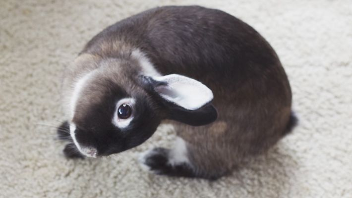 Bunnies With Head Tilts Can Live Happily Ever After