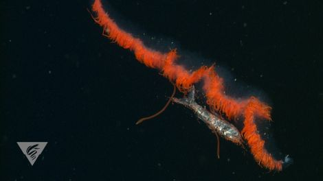 See Secret Eating Habits of Deep-Sea Creatures