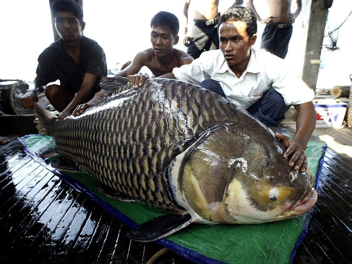 Megafish, Cambodia