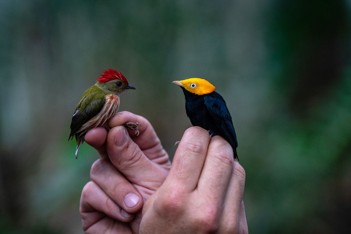 A 'Machaeropterus regulus' or striped manakin (left), and a 'Ceratopipra erythrocephala', also known as golden headed ...