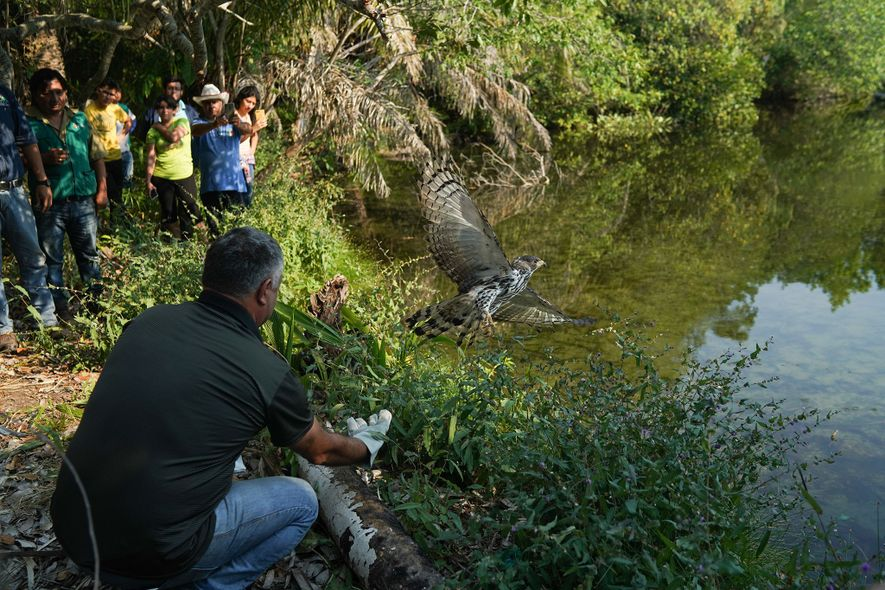 Staff from the Aguas Calientes rescue center, joined by government officials, release a hawk that made ...